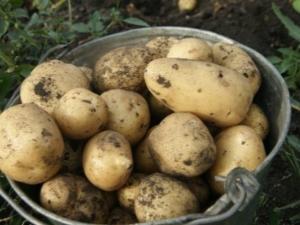 Особенности картофеля «Чародей»