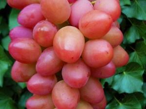 Особенности плодового сорта винограда «София»