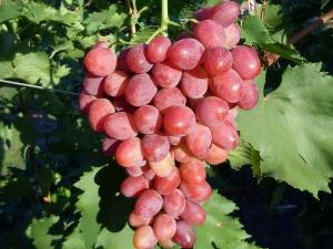 Особенности сорта винограда «Рубиновый юбилей»