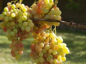 Подробное описание винограда «Аркадия» и его выращивание