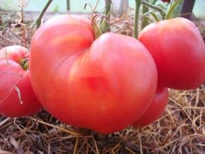 Правила выращивания томатов «Вельможа»