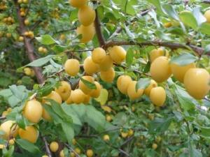 Слива «Утро»: описание сорта и советы садоводов