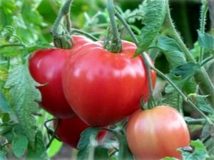 Томат «Батяня»: описание сорта и правила выращивания