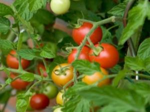 Томат «Бетта»: описание и выращивание сорта