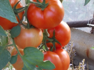 Томат «Бобкат F1»: описание и урожайность сорта