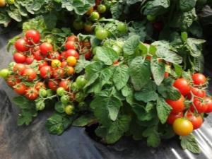 Томат «Бони ММ»: отличительные черты и особенности выращивания