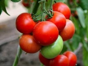 Томат «Хали-Гали»: урожайность сорта и особенности выращивания