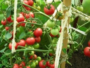 Томаты «Мазарини»: характеристики и особенности выращивания