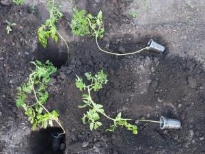 Тонкости посадки переросшей рассады помидоров