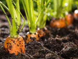 Тонкости процесса подготовки грядок под морковь весной
