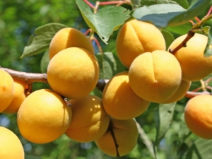 Тонкости процесса подкормки абрикосов весной