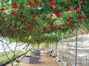 Тонкости выращивания помидорного дерева