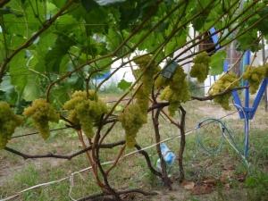 Тонкости выращивания винограда «Кишмиш 342»