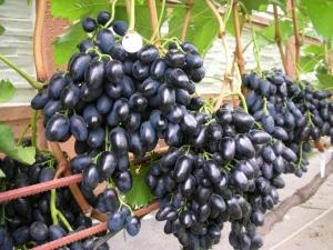 Виноград «Надежда АЗОС»: подробное описание сорта