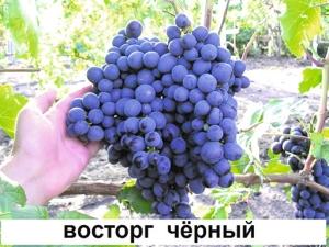 Виноград «Восторг»: характеристика и модификации сорта