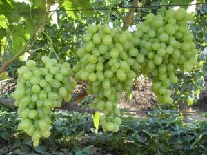 Виноград «Зарница»: характеристика сорта и выращивание