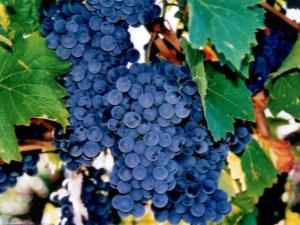 Выбираем лучшие морозостойкие сорта винограда