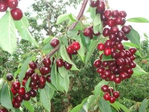 Черешня «Бычье сердце»: характеристика сорта и уход