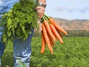 Что можно сажать рядом с морковью?