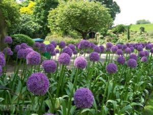 Декоративный лук: разновидности и особенности выращивания