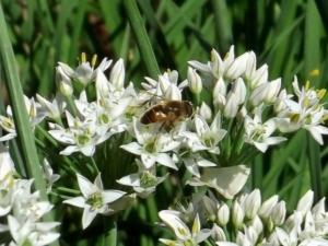 Душистый лук: разновидности растения и их описания