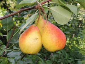Груша «Северянка»: характеристика и выращивание