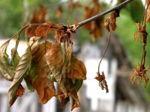 Как лечить монилиоз вишни?