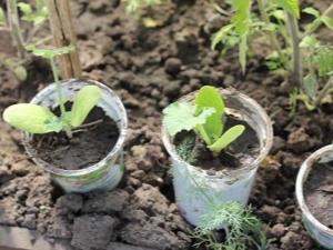 Как отличить рассаду кабачков от рассады огурцов?