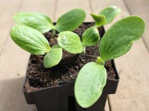 Как отличить рассаду кабачков от тыквы?