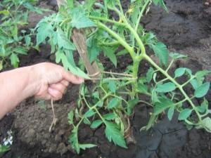 Как подвязывать помидоры?