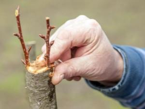 как привить грушу летом пошагово