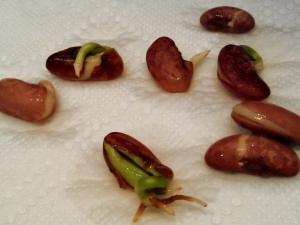 Как прорастить фасоль?