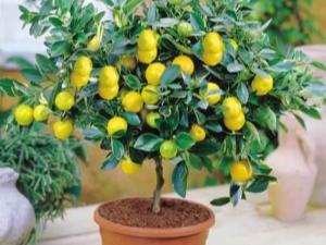 Как вырастить лимон из косточки в домашних условиях?