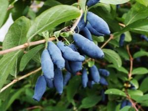 Как вырастить жимолость сорта «Гордость Бакчара»?