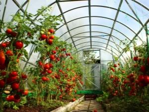 Какая температура должна быть в теплице для огурцов и помидоров?