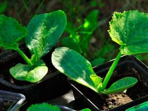Когда и как сажать кабачки на рассаду?