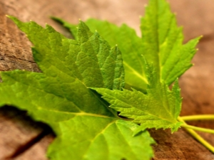 Листья смородины: свойства, заготовка и применение