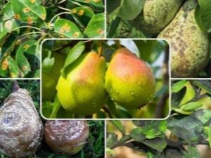 Методы борьбы с болезнями и вредителями груши