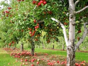 Методы борьбы с болезнями и вредителями яблонь