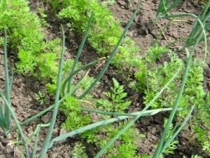 Можно ли сажать лук рядом с морковью?