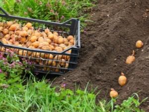 Нужно ли поливать картофель после посадки?
