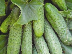 Огурцы «Машенька F1»: характеристика сорта и особенности выращивания