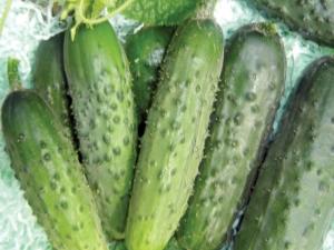 Огурец «Пальчик»: особенности сорта и выращивание