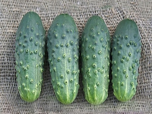 Огурец «Погребок»: характеристика сорта и особенности выращивания