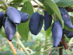 Описание и выращивание сорта жимолости «Югана»