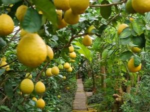 Уход за лимонов в домашних условиях 945
