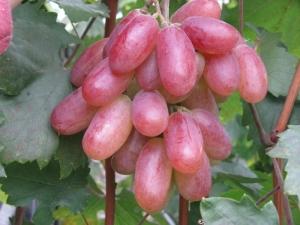 Описание сорта винограда «Юбилей Новочеркасска»
