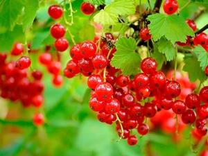 Особенности выращивания красной смородины