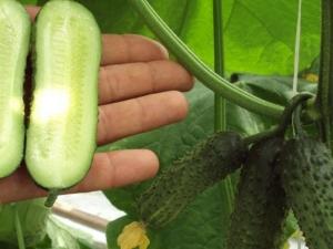 Партенокарпический огурец: что это за «фрукт» и по каким критериям его выбирать?