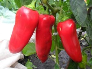 Перец «Воловье ухо»: особенности сорта и агротехника